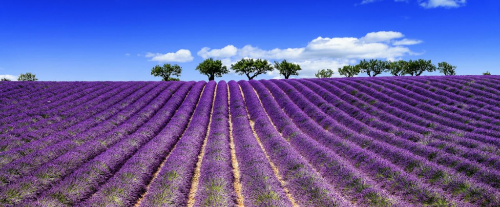 Lavender Fields and trees For Aromatherapy