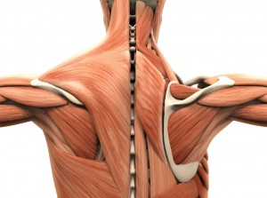 Muscles Of The Back Rotatror Cuff Injury